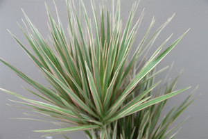 Dracaena Bi-colour