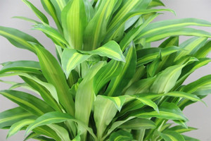 Thick stemmed Corn Plant
