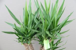 Yucca four stem