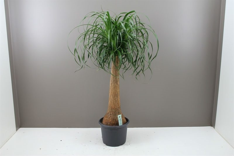 af179cb2ab7 1m Giant Ponytail Palm - Pot 24cm Nolina
