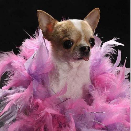5D Diamond Painting Pink Boa Chihuahua Kit