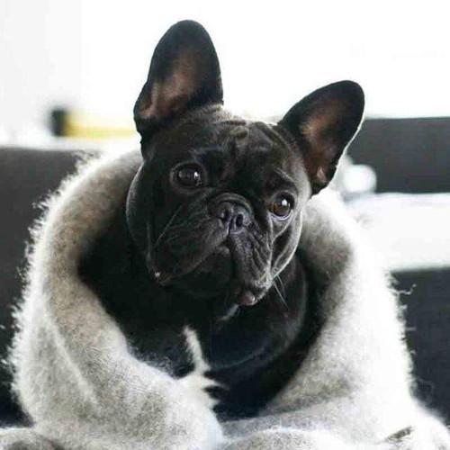 5D Diamond Painting Fuzzy Blanket French Bulldog Kit
