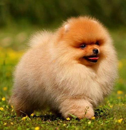 5D Diamond Painting Fluffy Pomeranian Puppy Kit