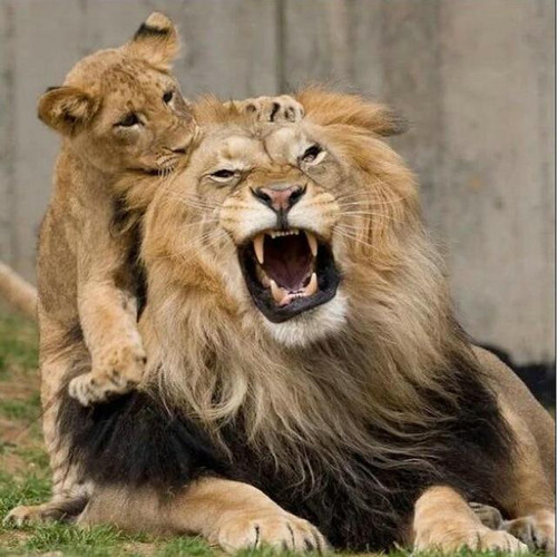5D Diamond Painting Lion and Cub Kit