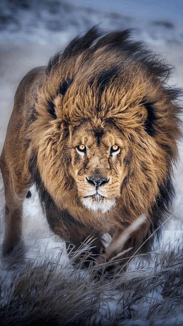 5D Diamond Painting Brown & Black Lion Kit
