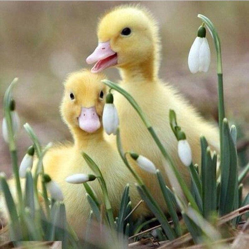 5D Diamond Painting Two Fluffy Ducklings Kit