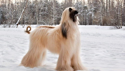 5D Diamond Painting Afghan Hound in the Snow Kit