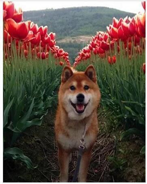 5D Diamond Painting Dog in the Tulips Kit