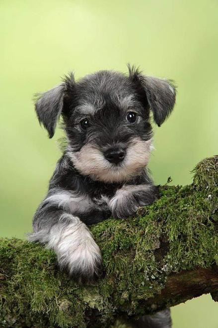 5D Diamond Painting Schnauzer Puppy on a Branch Kit