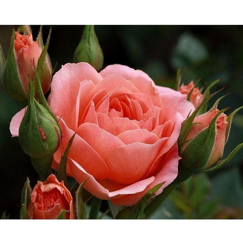 5D Diamond Painting Pink Rose and Rose Buds Kit