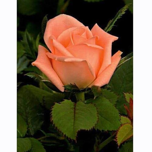 5D Diamond Painting Single Peach Rose Kit
