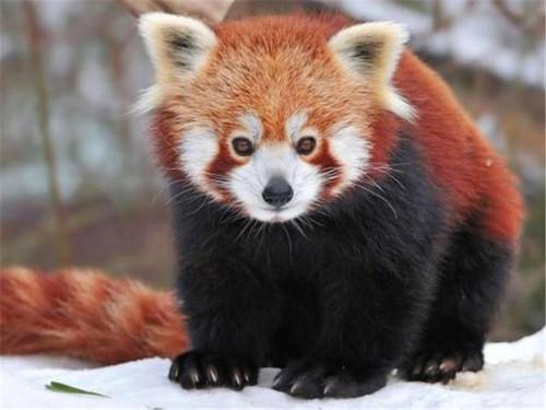 5D Diamond Painting Red Panda in the Snow Kit