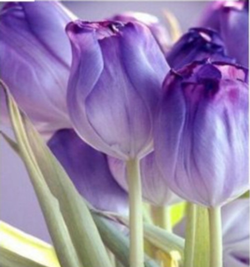 5D Diamond Painting Purple Tulips Kit