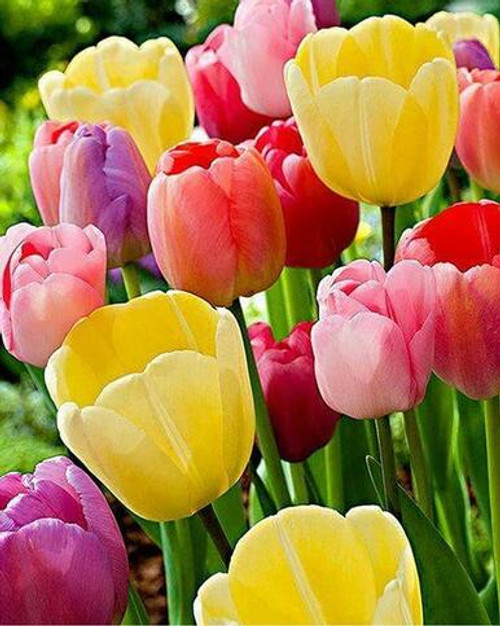 5D Diamond Painting Colorful Tulips Kit