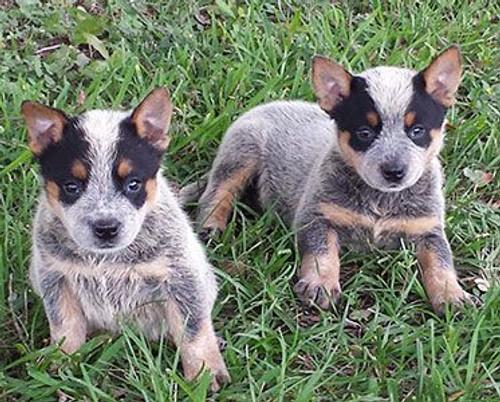 5D Diamond Painting Blue Heeler Puppies Kit