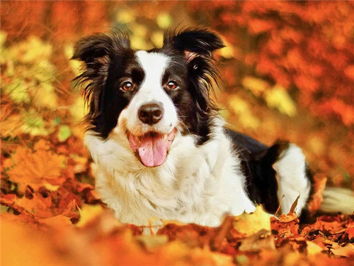 5D Diamond Painting Border Collie in the Fall Leaves Kit