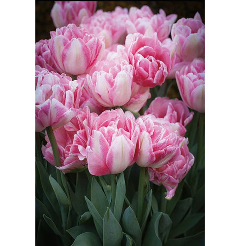 5D Diamond Painting Pink and White Tulips Kit