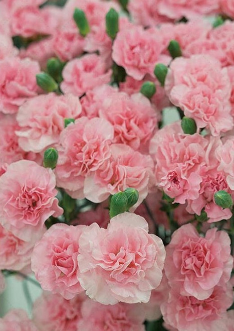 5D Diamond Painting Pink Carnations Kit