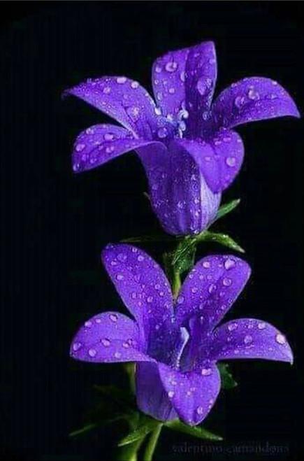 5D Diamond Painting Two Dew Drop Purple Flowers Kit