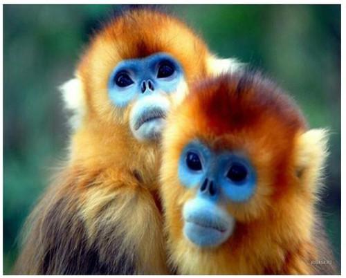 5D Diamond Painting Two Golden Monkeys Kit
