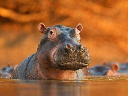5D Diamond Painting Hippo in the Water Kit