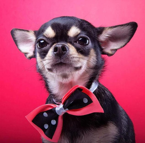 5D Diamond Painting Red Bow Tie Chihuahua Kit