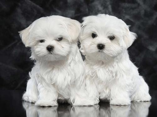 5D Diamond Painting Two Maltese Puppies Kit