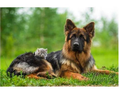 5D Diamond Painting German Shepherd and the Kitten Kit