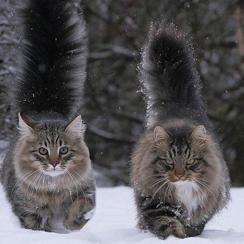 5D Diamond Painting Two Fluffy Cats in the Snow Kit