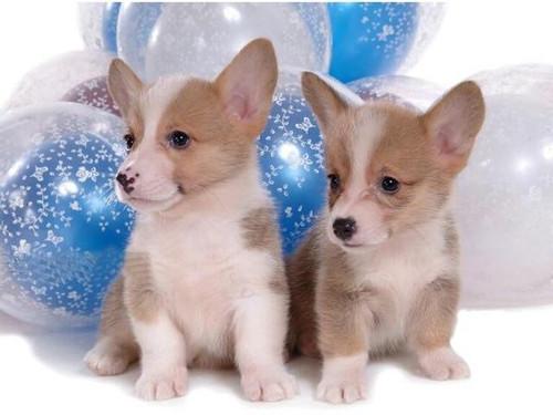 5D Diamond Painting Two Welsh Corgi Puppies Kit