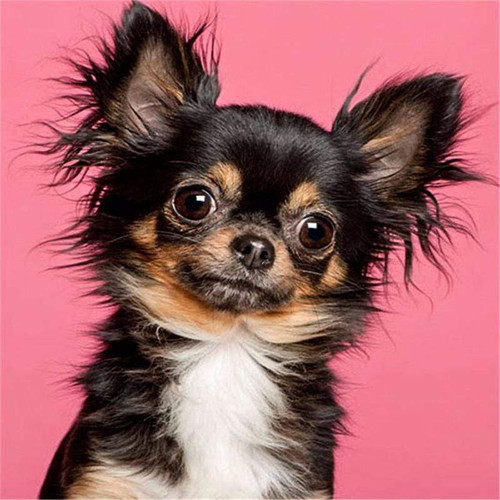 5D Diamond Painting Brown and White Long Hair Chihuahua Kit