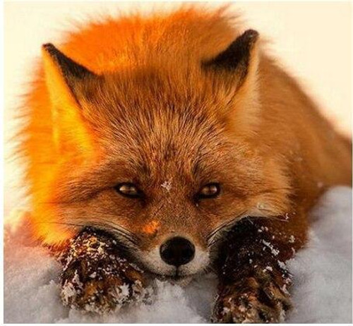 5D Diamond Painting Red Fox in the Snow Kit