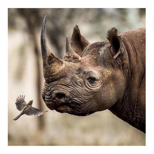 5D Diamond Painting Rhinoceros and a Bird Kit