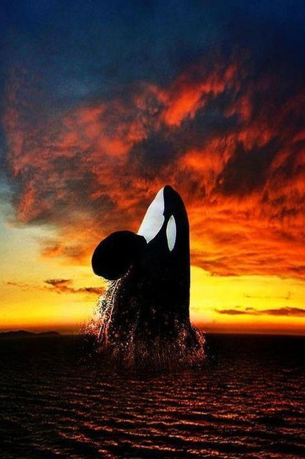 5D Diamond Painting Orca in the Sunset Kit