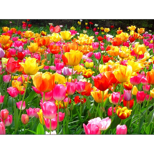 5D Diamond Painting Pink and Yellow Tulips Kit