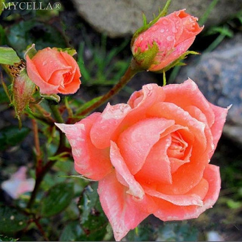 5D Diamond Painting Peach Roses Bush Kit