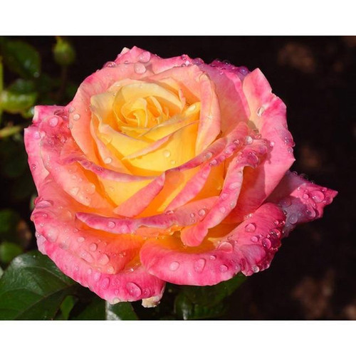 5D Diamond Painting Pink and Yellow Rose Kit