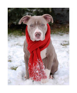 Pit Bull With Red Scarf Holiday Cards (Pack of 10)