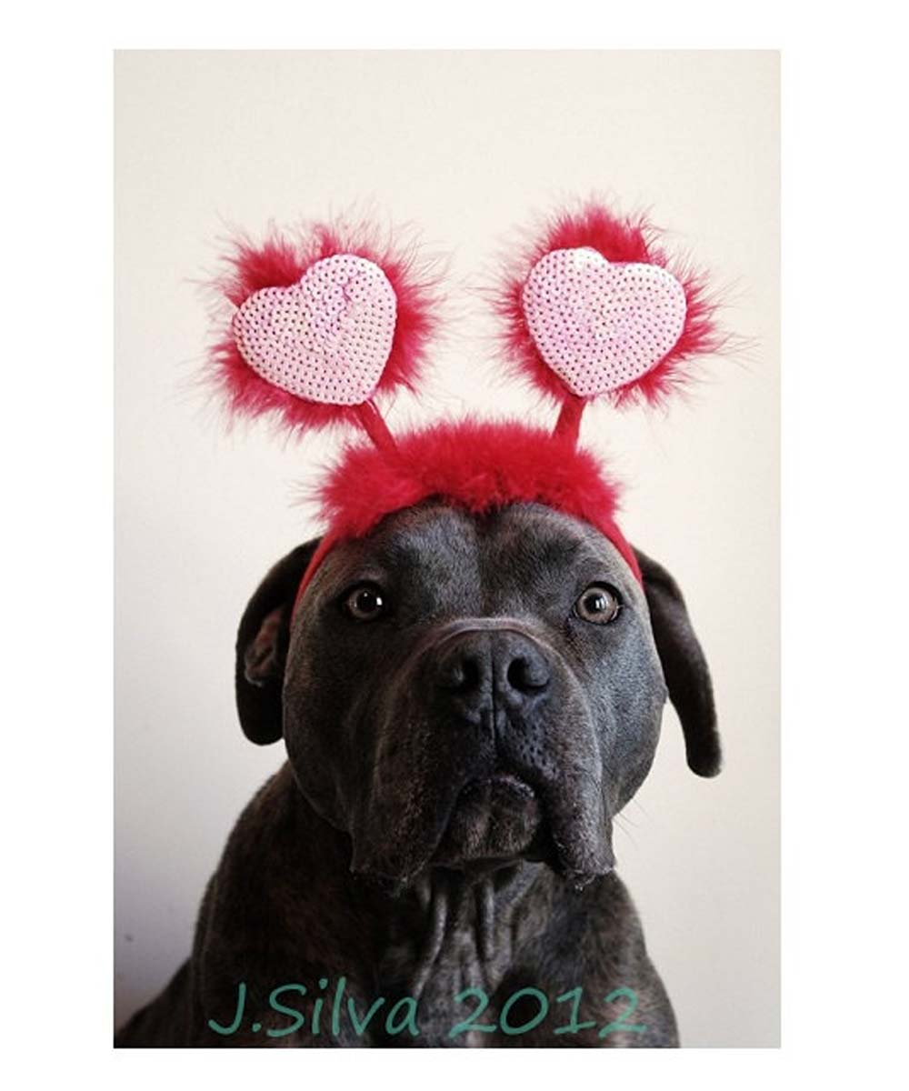 Pit Bull Valentines Day Card