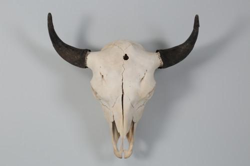 Large Bull Bison Skull