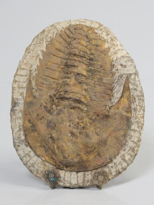 Cambropallas Trilobite Fossil from Morocco