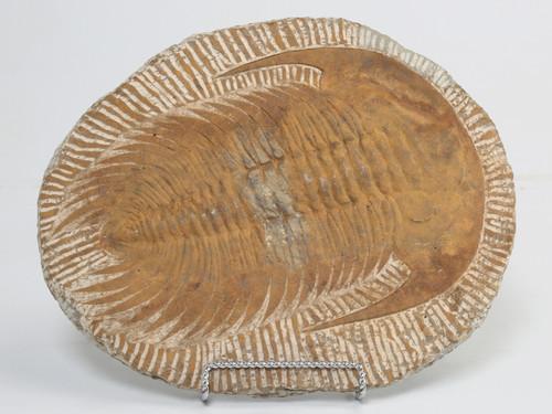 Moroccan Cambropallas Trilobite Fossil