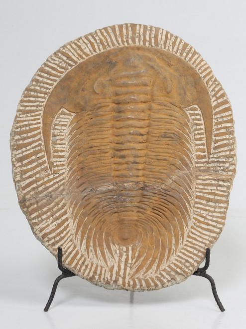 Paleozoic Era Cambropallas Trilobite