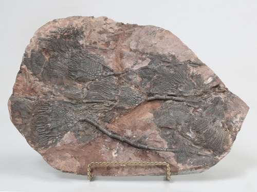 Crinoid Plate Fossil From Morocco