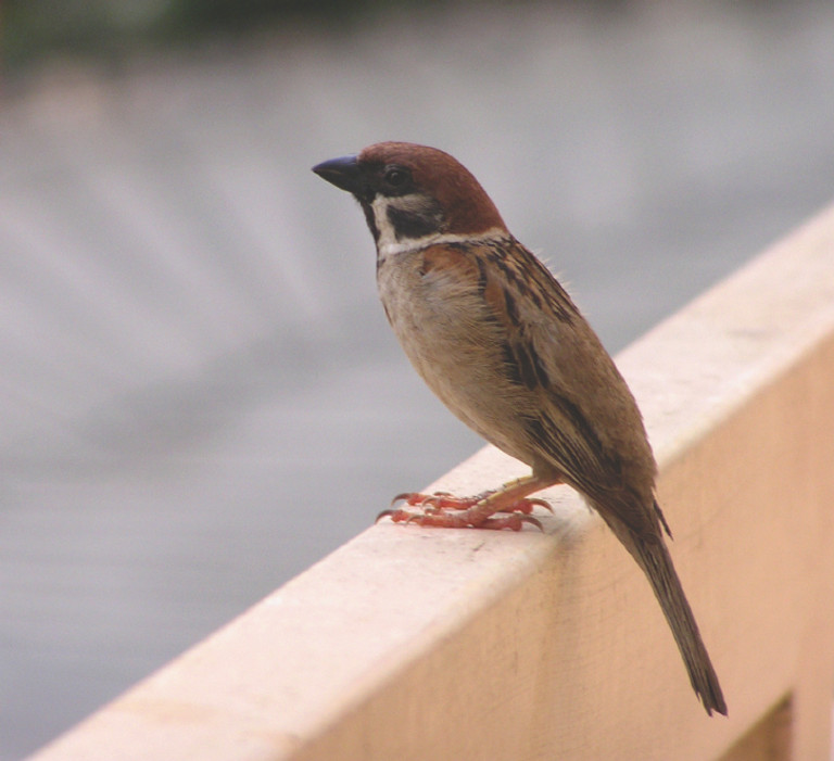 how to get rid of sparrows using humane bird controls bird b gonehow to get rid of sparrows using humane bird controls