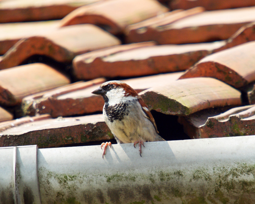 Nesting Birds on Your Home? How to Get Rid of Them - Bird B