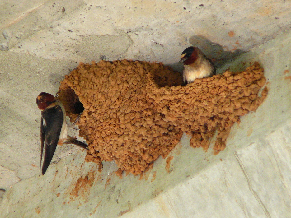 Swallows Invading your Home? How to Keep them Away  - Bird B