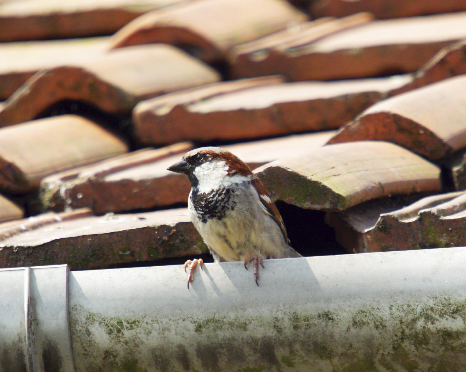 Nesting Birds On Your Home How To Get Rid Of Them Bird B Gone Inc