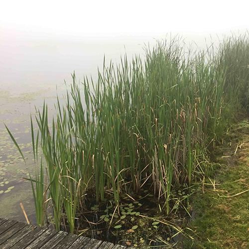 cattails in wetland