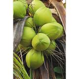 Coconut (Fractionated) Carrier Oil